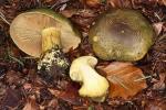 Maslinasta koprenka, lat. Cortinarius atrovirens