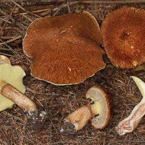 Šupljonogi ariševac, lat. Boletinus cavipes
