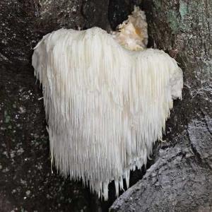 Resasti igličar, lat. Hericium erinaceus