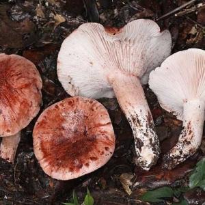 Medenka, lat. Hygrophorus russula