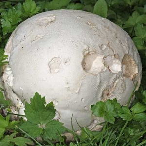 Golema ćelavica, lat. Langermannia gigantea