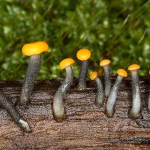 Narančasta nitoglavka, lat. Vibrissea truncorum